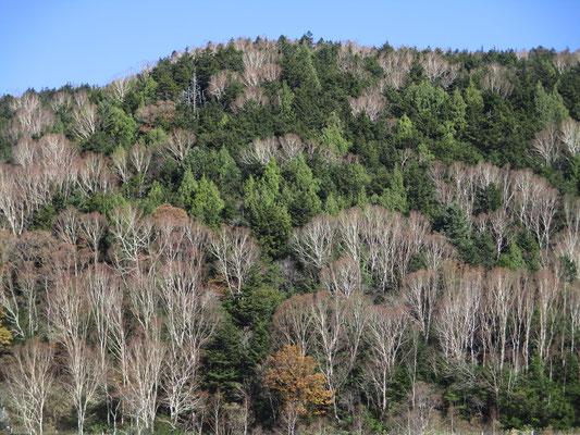 美しいダケカンバの枝ぶりが針葉樹の深い緑に映える 明るい緑の針葉樹はクロベ