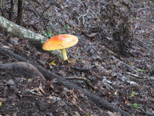 小人の東屋くらいの大きさに傘を広げたタマゴタケ