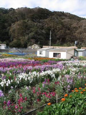 例年通りの見事な花を咲かせるまでには大変な苦労があったと話を伺う