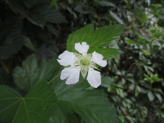 6/10 カジイチゴの咲き残り この花がとってもおいしい実になるわけ♡