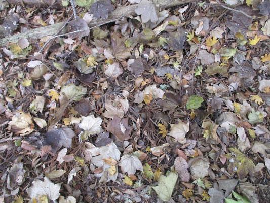 足元にはそのハリギリの落ち葉