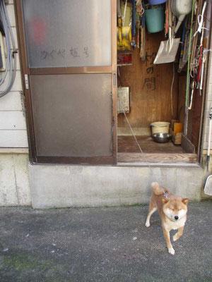 佐藤酒店の「看板娘?」 かぐや姫号=柴犬と棲まいの「松の間」(笑)