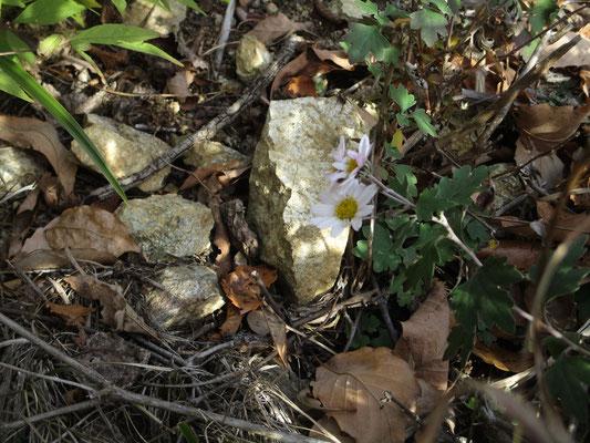 可憐なリュウノウギク このそばにはリンドウも咲いていたが、残念ながらピンぼけ