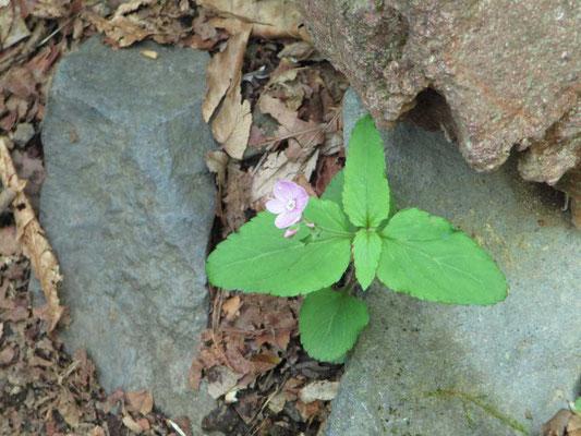 一の鳥居の近くになると姿を見せた花 クワガタソウ 下山時にはこの花を目にしてホッとした気持ちになりました。