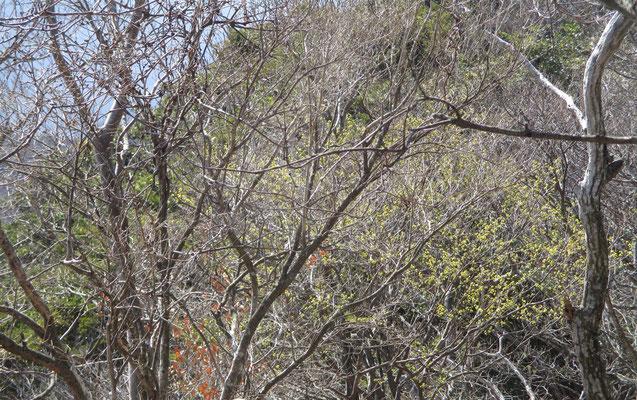 大タルミに群生するアブラチャンは、やはり稜線上で風の影響か蕾がかたかった