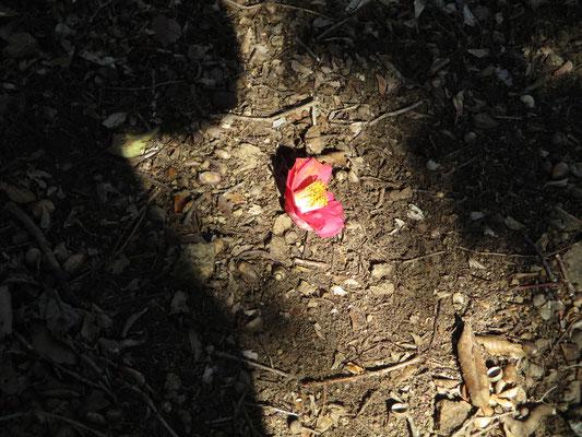 ミツマタ桃源郷にはヤブツバキの花も一緒に見頃