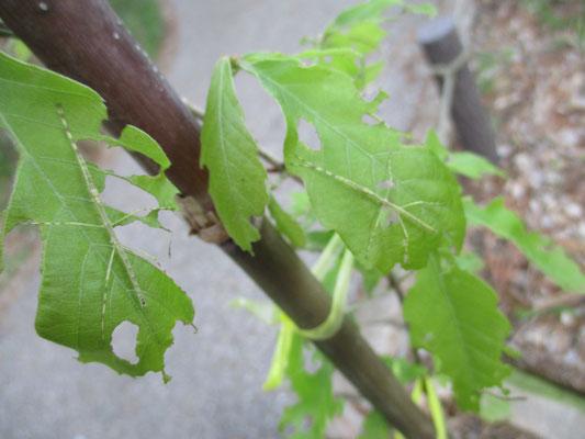 ナナフシモドキのようなのが、この小さい木に5匹も! 幼虫は3匹! 丸裸になりそう(汗)