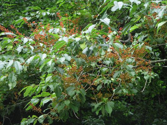 Wさんお目当ての木 実がいっぱいついている イヌザクラであると確認