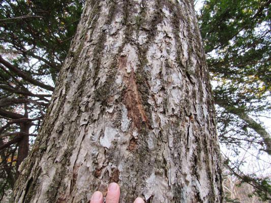 クマの爪痕