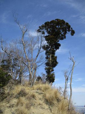 その発句石広場の上に頑張って残る一本の常緑樹(スダジイ?) これが下界からもかなり目立って見える