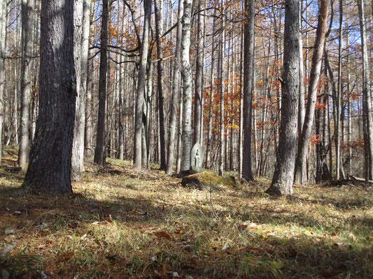 雰囲気のいい落葉松林 このカラマツの落ち葉がハラハラと雨のように降っていました