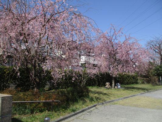 近所の公園の枝垂れ桜