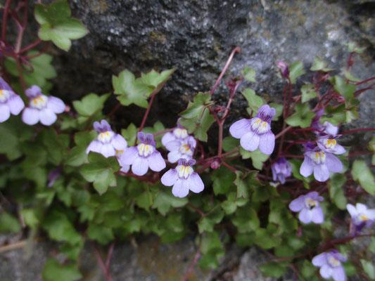 この美しい薄紫の花はツタバウンラン(蔦葉雲蘭) 蔓性のものでキランソウとかと区別できる 名前の覚え方はまずは錯覚利用で、スタバ〜で始まると・・・