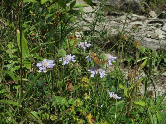 マツムシソウに沢山の蝶が群がって一生懸命密を吸っていました