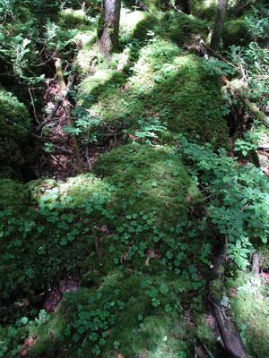 苔むした岩にミヤマカタバミ