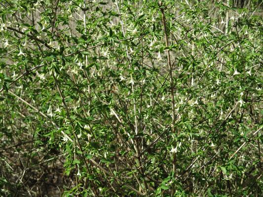 白いウグイスカグラ 園芸種らしい
