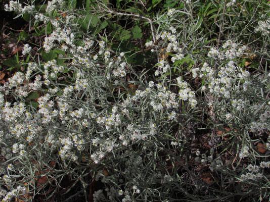 ハハコグサが花の盛りを過ぎて秋の風情です