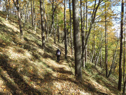 巻道は落葉松林です 黄葉の一歩手前 明るい雰囲気の山道