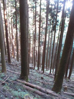 あとは黙々と植林帯を下る