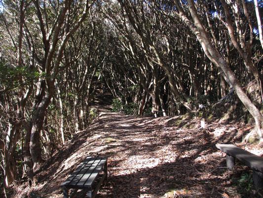 千葉の山に特徴的なジャングルっぽい網の目のように林立する照葉樹(カシノキなど) 登山道を外したら迷うこと間違いなし