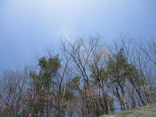 春の空に春の木々 そしてミツバツツジ