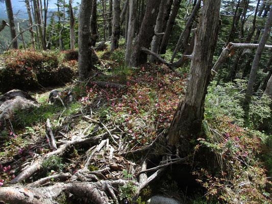 人が歩かない樹林の間にもびっちりとイワカガミ