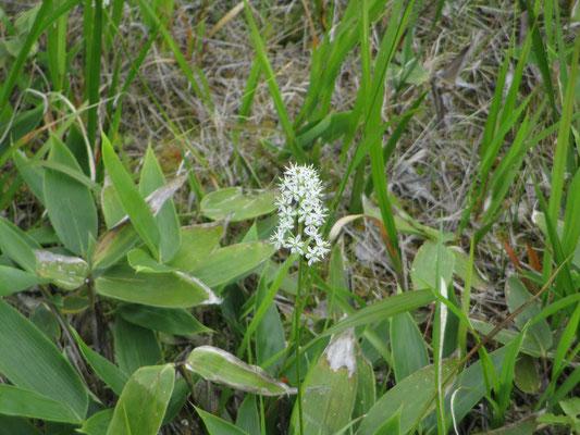 一見遠目ではワタスゲかと思われるように点々と白く咲いていたのは、イワショウブの花