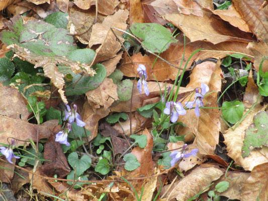 タチツボスミレが一番たくさん咲いていました
