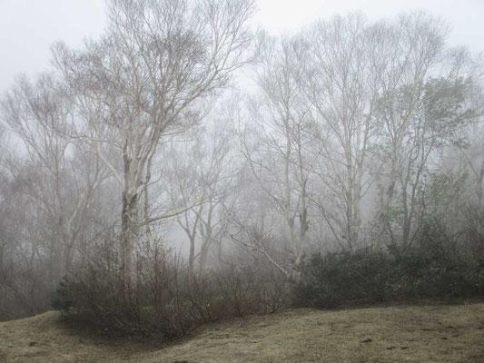 美しく幻想的なダケカンバの森