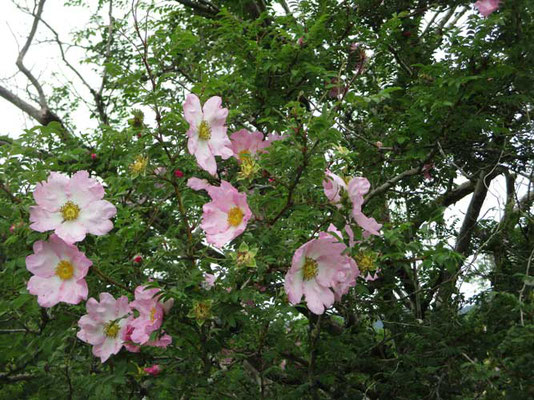 ちょうど見頃のサンショウバラは淡いピンク色 箱根町の花とのこと