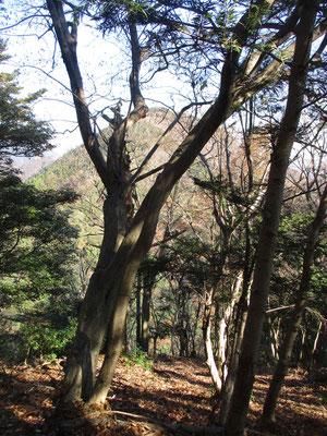 自然林越しに鐘ヶ岳を見ながら歩けるのはいい気分です