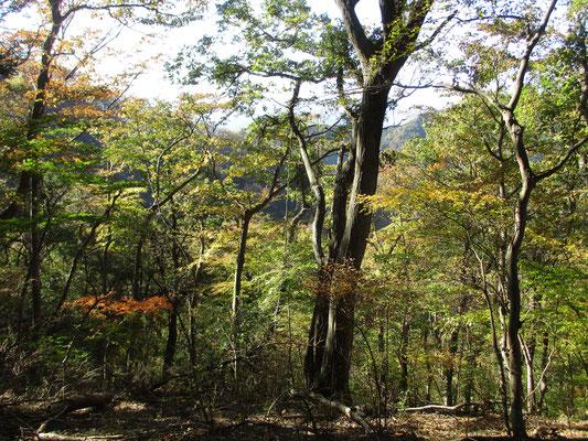 美しい林相の西山稜線付近