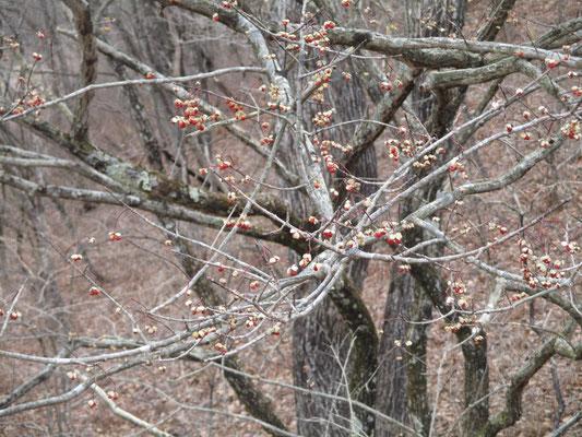 湿原脇にツリバナの木 控えめな赤い実が沈んだ色の世界に美しい…