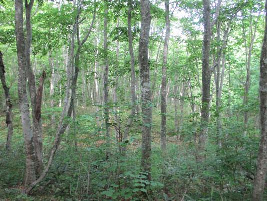 どこもかしこも深いブナの林