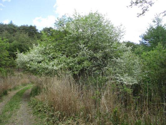 山道のあちこちにはズミの木が満開の花をつけていました