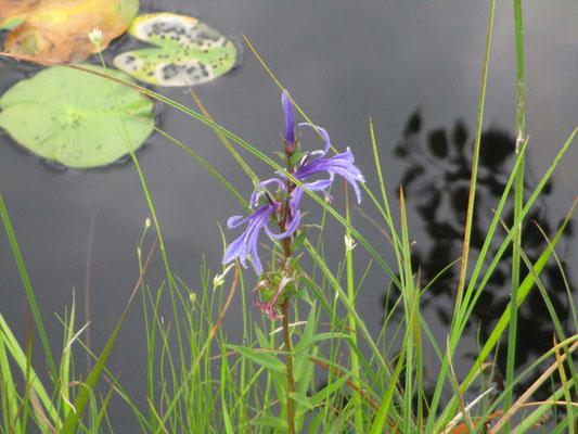 サワギキョウの紫が美しい