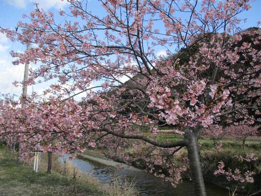 帰りに立ち寄った旧保田小学校をそのまま改築利用した道の駅近く、保田川沿いに咲いていた河津桜