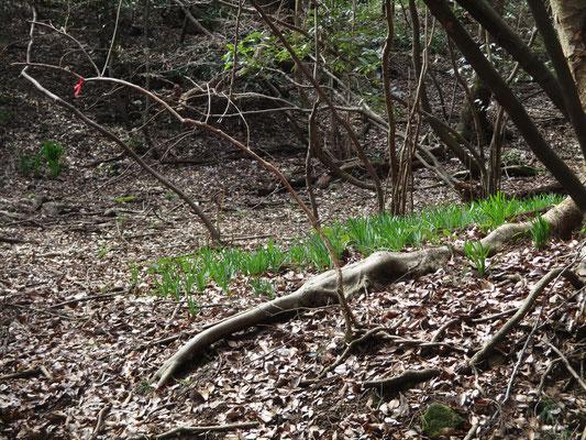 付替え市道I-778を進んでいくと、向こうの高みに鮮やかな緑を見る おそらくキツネノカミソリではないかとの事だが、この花が咲く時期にはここはヒル地帯になる為、未だ確認されたことはない