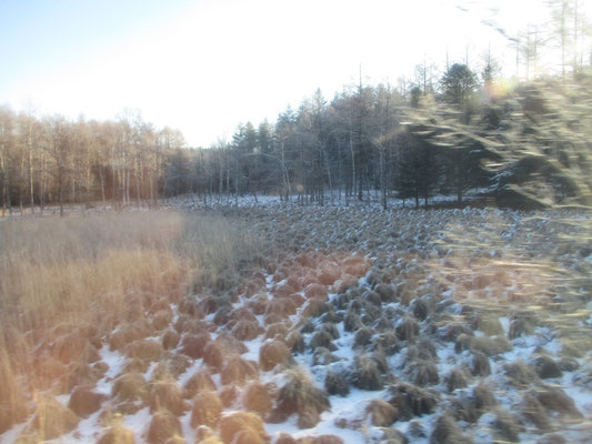 驚いたことに、いつもなら雪がかぶっていて分からなかったが線路の周囲は湿地帯なので延々と「谷地坊主」があった ※谷地坊主:写真枠の下をご参照ください