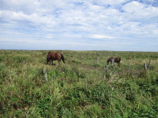 その後は霧多布岬に向かう途中 放牧された馬の親子 すごく大きくて迫力があります