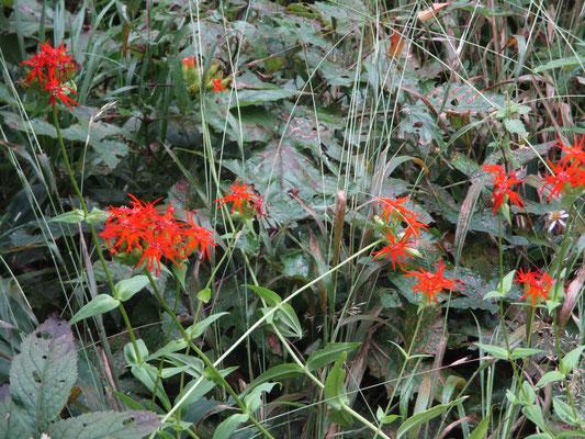 この日初めて見た花 エンビセンノウ 激しく目を引く色彩、ナデシコ科と聞けばそのような形状 エンビは燕尾、たしかに