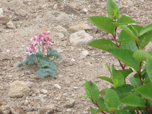 侵食移動の激しい砂礫地にしか咲かない高山植物の女王コマクサ 脇に見えるのはオンタデ、これも荒れ地に生える先駆的植物です