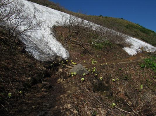 残雪脇の小さな沢筋には目に鮮やかなフキノトウ