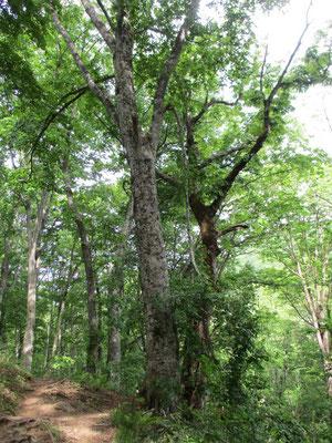 「せせらぎコース」は豊かなブナやサワグルミ、ミズナラの渓畔林 巨木ばかり!