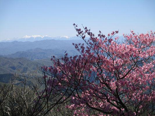 アカヤシオと残雪の八ヶ岳