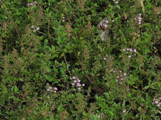 イブキジャコウソウ ジャコウソウの名前が所以の独特の香りがあります