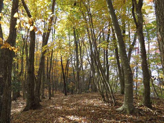 美しい落葉樹(ミズナラやクリなど)の森 ここの魅力は自然林に包まれていることです
