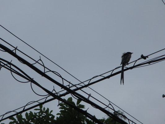 風で羽毛が逆だっている 関東ではこうして普通に見られる鳥だが、関西では貴重種のように珍しいらしい