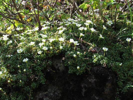 ビッチリと岩に咲いている
