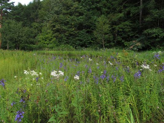 こちらは紫が美しいサワギキョウの草原
